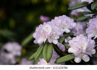 close up on hydrangea macrophylla flowers