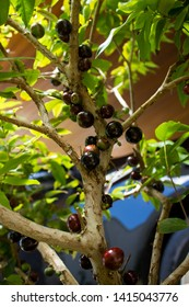 Close up on jaboticaba fruits on tree trunk, with black and brown blurred background