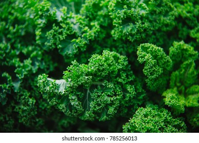 Close up on kale, green background or texture