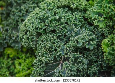 close up on Kale. green  vegetable leaves, healthy eating, vegetarian food.
