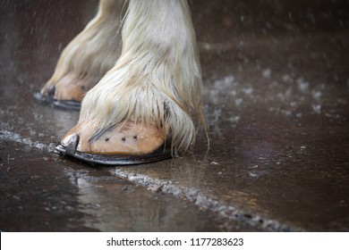 Close up on the large hoofs of a clydesdale horse, with horseshoe nails, standing on wet pavement with water spaying in the background, and space for text on the right