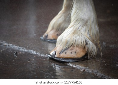 Close up on the large hoofs of a clydesdale horse, with horseshoe nails, standing on wet pavement, with space for text on the left
