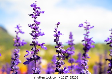 Close up on lavender flowers with blurred sky's background