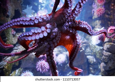 close up on live octopus in the aquarium