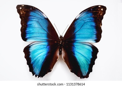 Close up on a Morpho deidamia neoptolemus butterfly isolated on white background