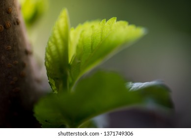 Close up on mulberry trees in nature.