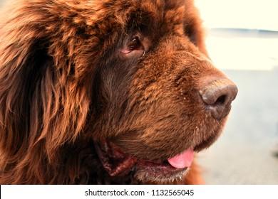 close up on newfoundland dog