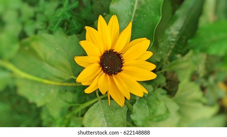 state flower of maryland images stock photos vectors shutterstock