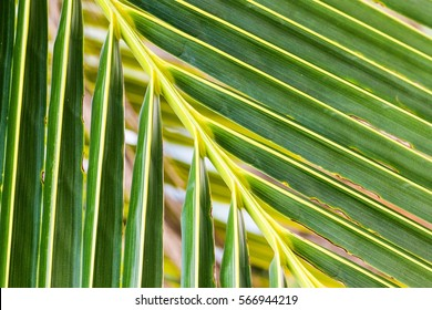 Close up on palm tree branch. Nature green texture background