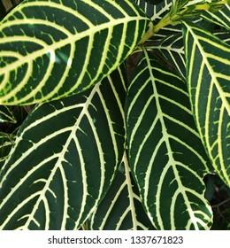 Close up on pattern of Zebra Plant leaves - Aphelandra squarrosa