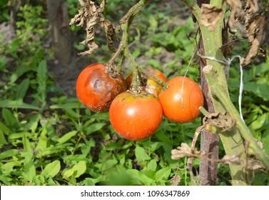 Close up on phytophthora infestans is an oomycete that causes the serious tomatoes disease known as late blight or potato blight.
