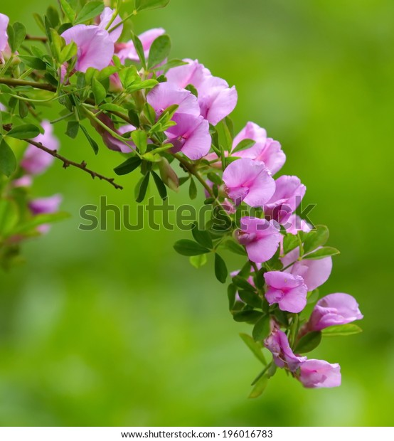 Close up on purple broom (chamaecytisus purpureus) by spring time