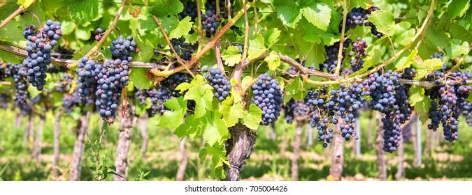 Nahaufnahme auf roten schwarzen Weintrauben auf Weinberg, panoramischer Hintergrund, Konzept der Traubenernte