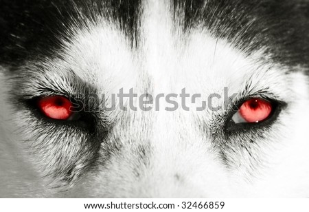 Close On Red Eyes Dog Stock Photo Edit Now 32466859 Shutterstock
