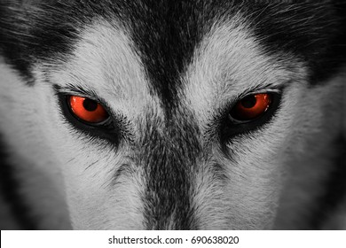Close up on red eyes of a husky dog