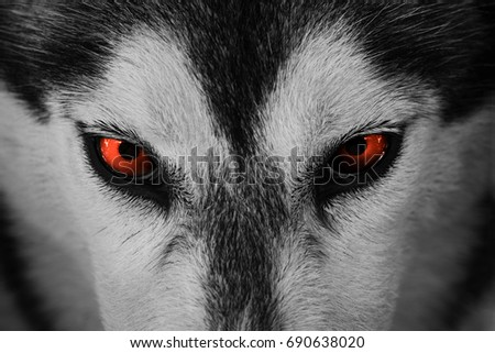 Close On Red Eyes Husky Dog Stock Photo Edit Now 690638020