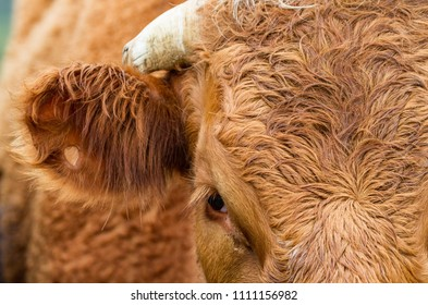 Close up on red haired dehorned cow