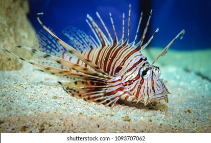 Close up on a red lionfish - coral reef fish in large aquarium