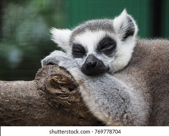 Close up on ring-tailed lemur face while sleeping.