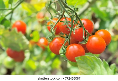 close on ripe cherry tomatoes among leaf in vegetable garden