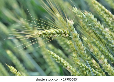 close on a ripening barley ear in a field