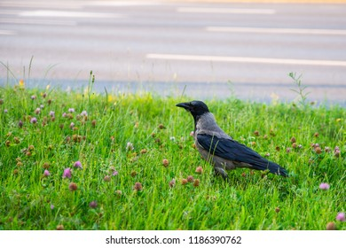 close up on rook bird in the grass
