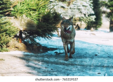 close up on running wolf in the forest