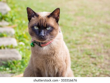 close up on Siamese cat named Moon Diamond or seal brown, also called Wichianmas on the blur background