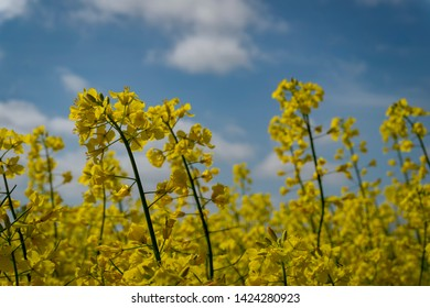 Close up on a single spike of bright yellow rape seed, canola or colza flowers growing in an agricultural field against a blue sky