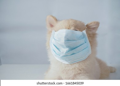 Close up on small dog breeds or Pomeranian with brown hairs crouch or lying down on the white table with white background and wearing mask for protect a pollution PM2.5 or COVID-19 disease