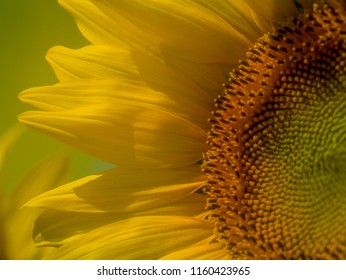 Close up on a sunflower