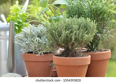 close on  thyme, sage and rosemary potted on with a watering can in a garden