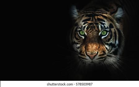 close up on  tiger, black background