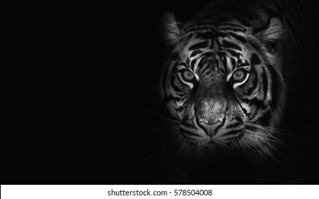 close up on  tiger, black background, black and white