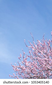 Close up on the top of a pink cherry blossom tree in Spring bloom, and a cloudy blue sky background with space for text on right