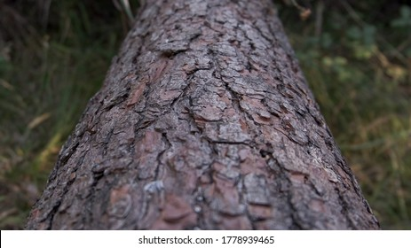 Close up on trunk of fallen pine tree in the woods. Shallow depth of field.