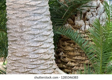 Close up on the trunks of two queen palm trees side by side. One trimmed pruned the other ragged with suckers growing from below.