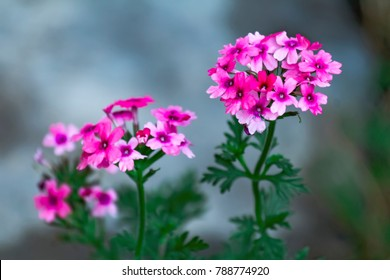 Close up on Verbena. Verbena hybrida. Pink Verbena Hybrida blooming
