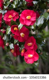 Close up on vibrant pink and yellow  camellia flowers on a green bush, at a Japanese garden