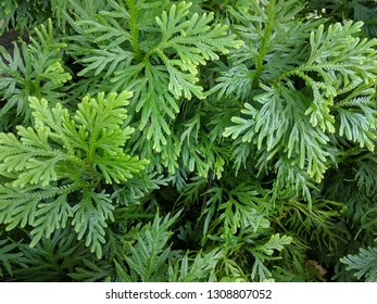 Close up on White Cedar leaves ( Thuja occidentalis)