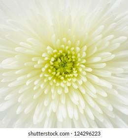 Close up on a white chrysanthemum