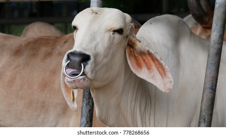 Close up on a white cow with a ring on it's nose