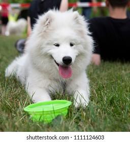 close up on white samoyed dog on grass
