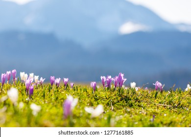 close up on wild crocos in purple and white on famous Mountain Heuberg with snow covered Alps in the background