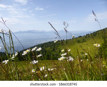 A close up on the wild flowers growing on the slopes of Gerlitzen in Austria. The valley below is shrouded with fog, high peaks popping out above the fog level. Lush green Alpine slopes. Calmness