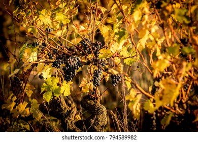 Close up on wine grapes in LYS HAUT LAYON (France), September 2017