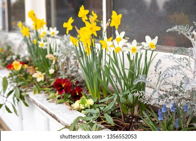 Close up on yellow daffodils in an old window planter box