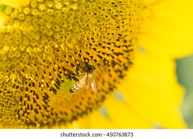 Close up on yellow sunflower with bee