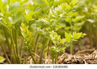 close up on young plants of Lovage (levisticum officinale)