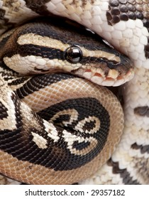 Close up on a Young Python regius (10 months old) in front of a white background